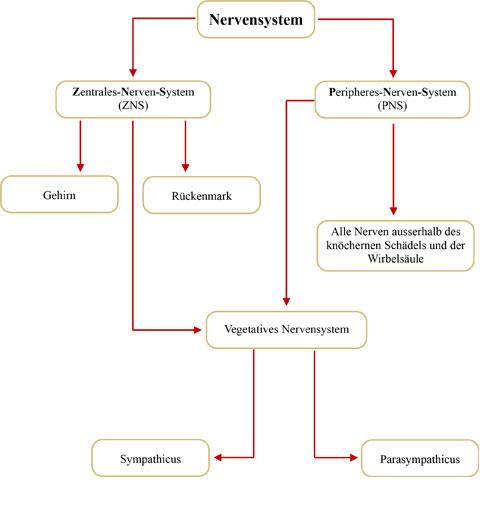 Was ist das Vegetative Nervensystem?   Neuraltherapie, das Störfeldgeschehen