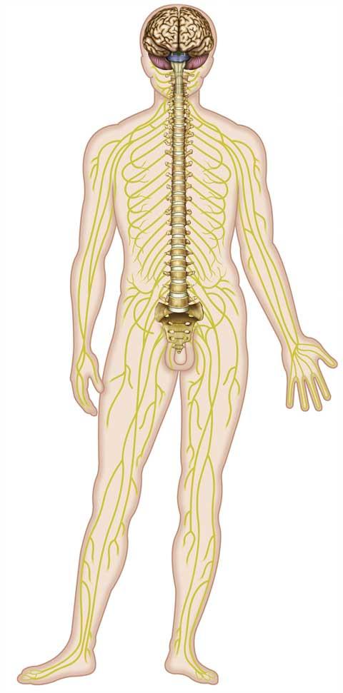 Anatomie des Vegetativen Nervensystems | Neuraltherapie, das Störfeldgeschehen